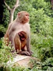 Kathmandu Monkey & Baby