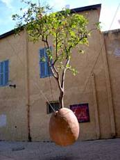 Israel Jaffa tree