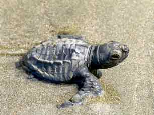 Costa Rica Turtle Olive Ridley baby
