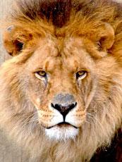 Africa_Lion_web.jpg