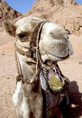 Egypt_Camel_web.jpg