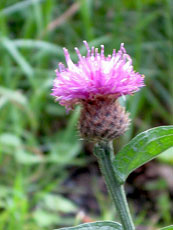 Scotland - Thistle Flower