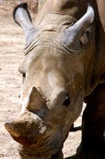 African_Rhino