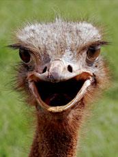 Africa_Ostrich_web.jpg