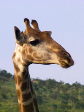 Africa_Giraffe-Head_web.jpg