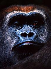 Africa_Gorilla_web.jpg