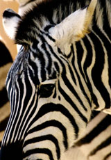 Africa_Zebra-Close-Vert_web.jpg